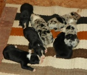 Hangin Tree Cowdog Puppies For Sale
