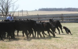 Hangin Tree Cowdog Herding Cattle